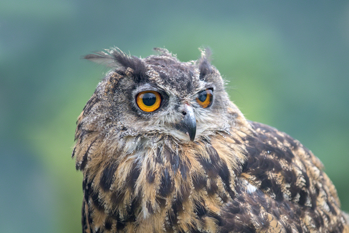 Eagle owl in falconry experience